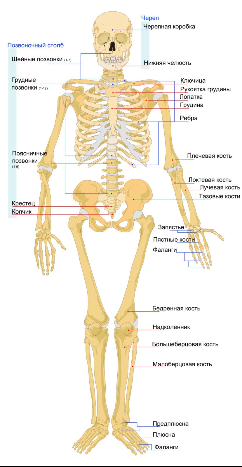 скелет строение