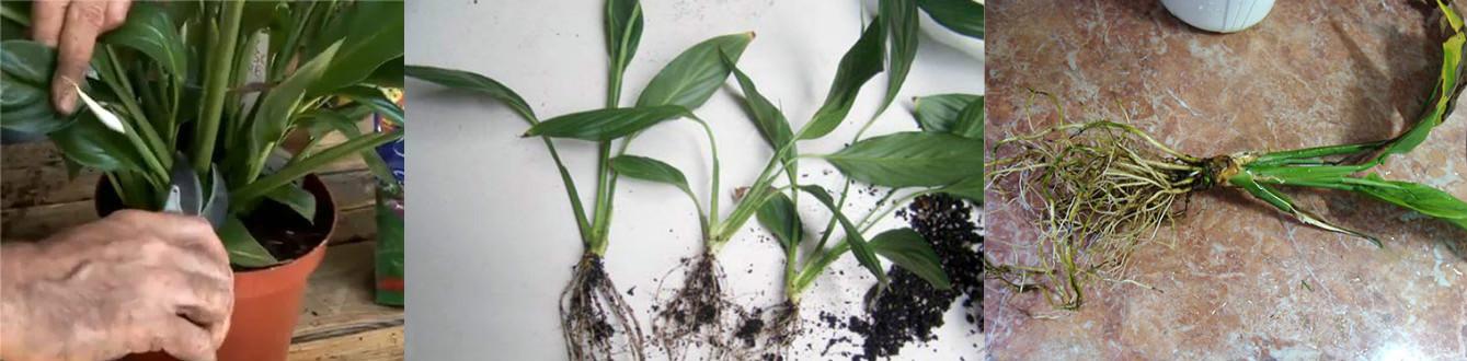 Размножение от корня