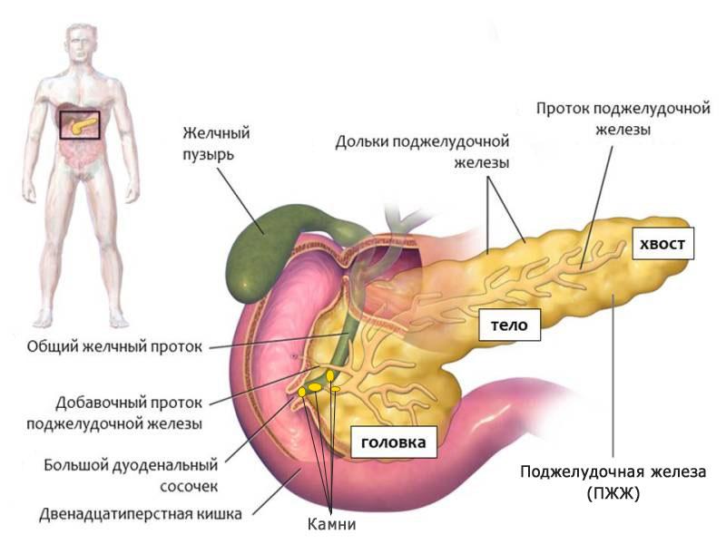 наглядная картинка железы