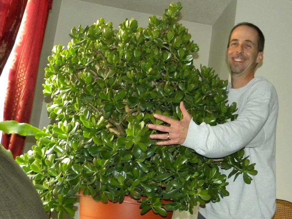 Крона огромного денежного дерева