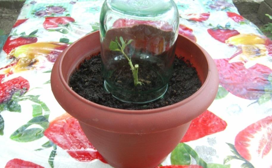 Процесс выращивания черенка