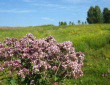 Цветы душицы в природе