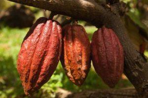 3 какао-боба вблизи