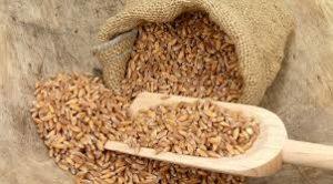 Полба вблизи зерно