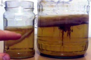 Чайный гриб — выращивание, уход, применение для похудения и омоложения 744