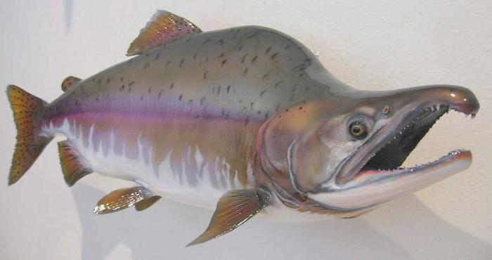 Цельная рыбина горбуша