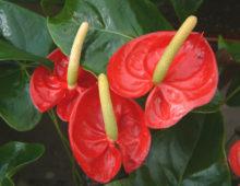 Цветки вблизи вместе с пестиками
