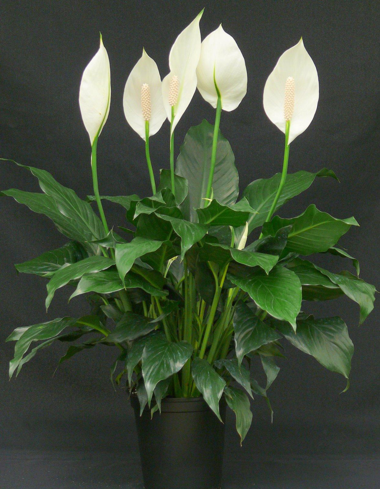 Женское счастье с белыми цветками