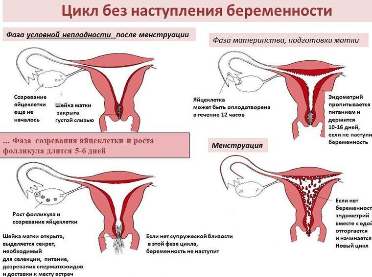 цикл без беременности