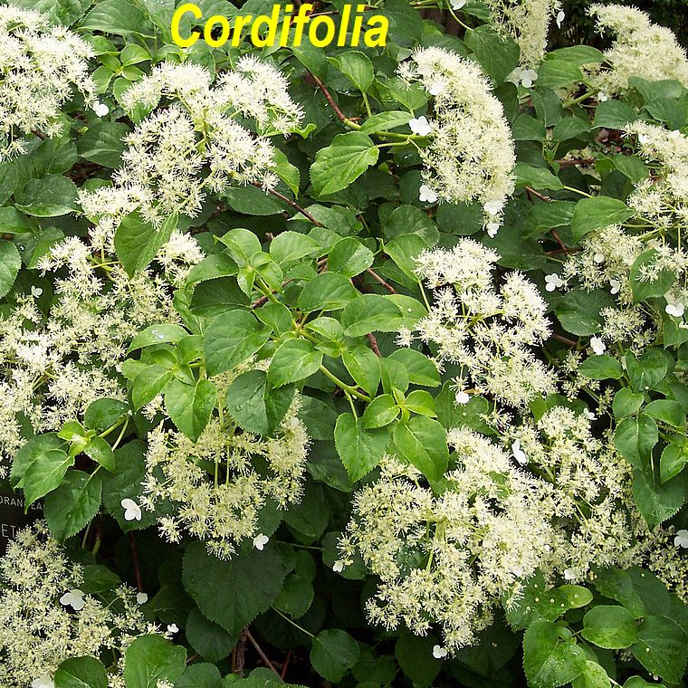 Cordifolia