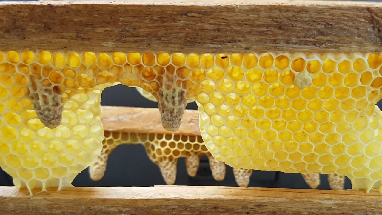 Разведение пчеломаток