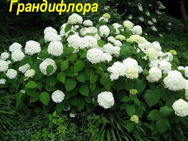 Грандифлора