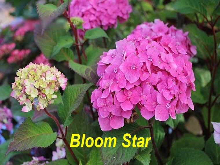 Bloom Star