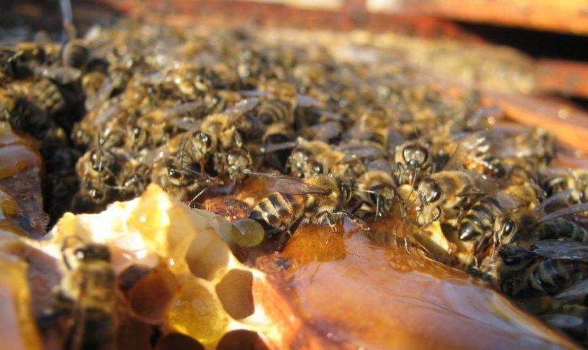 Можно ли подкармливать пчел сахаром