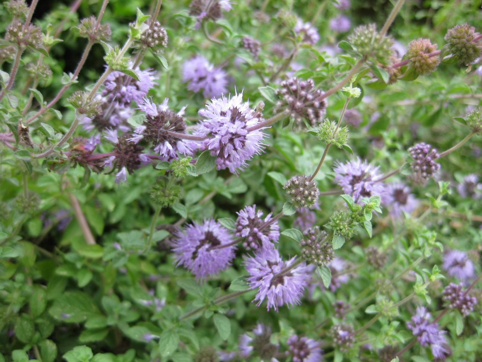Медоносные травы для пчел. Самые медоносные растения