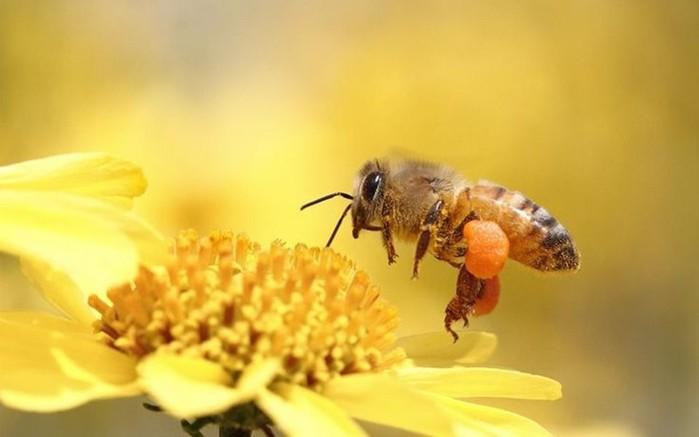 Как пчлы делают мед зачем он им как собирают как получается