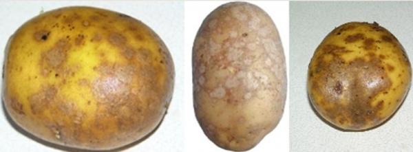 Парша картофеля: как бороться с болезнью, чем обработать перед посадкой